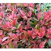 Bloemen Photinia fraseri Little Red Robin - Glansmispel