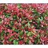 Bloemen / flowers Photinia fraseri Little Red Robin - Glansmispel