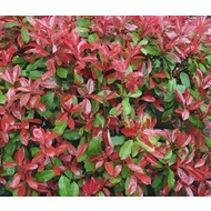 Bloemen Photinia fraseri Little Red Robin - Glansmispel