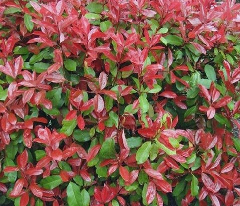 great affordable photinia fraseri little red robin glansmispel with photinia red robin snoeien. Black Bedroom Furniture Sets. Home Design Ideas