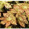Blad Podophyllum Spotty Dotty - Voetblad