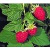 Eetbare Tuin Rubus idaeus Willamette - Framboos
