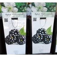 Eetbare Tuin Rubus fruticosus Triple Crown - Braambes