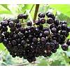 Eetbare Tuin Sambucus nigra Haschberg - Vlierbes