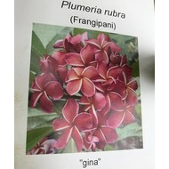 Bloemen Plumeria rubra Gina - Frangipani - Tempelboom