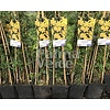 Bloemen Jasminum nudiflorum - Winterjasmijn