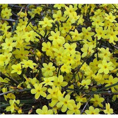 Bloemen-flowers Jasminum nudiflorum - Winterjasmijn