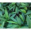 Eetbare Tuin Alpinia galanga - Laos