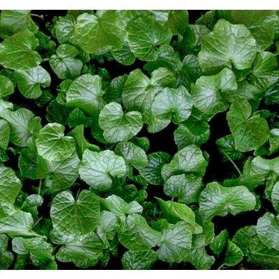 Eetbare tuin-edible garden Wasabia japonica - Wasabi