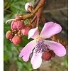 Bloemen / flowers Bixa orellana - Orleaanboom
