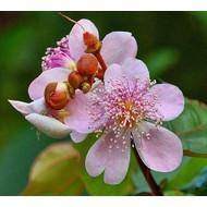 Bloemen Bixa orellana - Orleaanboom