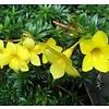 Bloemen Allamanda cathartica - Gouden trompet