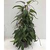 Bloemen-flowers Hardenbergia violacea