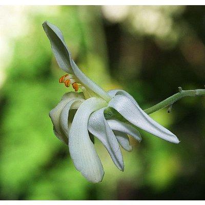 Eetbare tuin-edible garden Moringa oleifera - Wonderboom