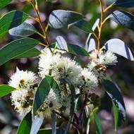 Bomen-trees Eucalyptus globulus - Blue gom tree