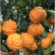 Eetbare tuin-edible garden Citrus aurantium Corrugato - Bitter orange