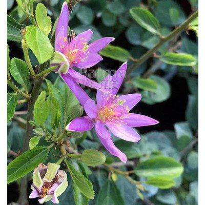 Bloemen-flowers Grewia occidentalis - Lavendelster- Kruisbesje