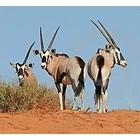 Antelope and bull eyes