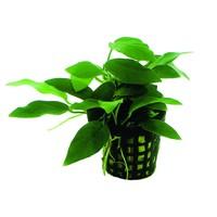 Waterplant Anubias Nana Bonzai