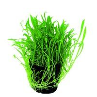 Waterplant Lilaeopsis novea-zealandia aquariumplant