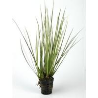 Waterplant Acorus variegatus aquariumplant