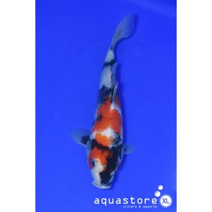 AquastoreXL Koi Showa
