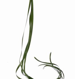 tape grass(1cm) (6 pcs in bag) 122cm