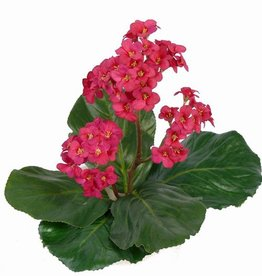 Bergenia Bush 40cm - without pot