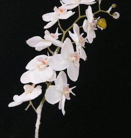 Phalaenopsis w snow stem, 81cm