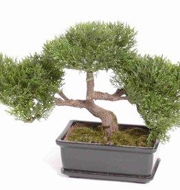 Bonsai ceder, 113lvs, h23cm, 10cm pot