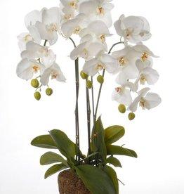 Phalaenopsis x 3 W/23 Flrs, 8 Buds, 17 Lvs, Roots W/Art Brown Soil (No Pot), 76cm