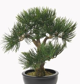 Bonsai Angel Pine x43 lvs, 33cm