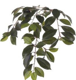 "Ficus microcarpa ""Retusa"" x60lvs, 65cm"