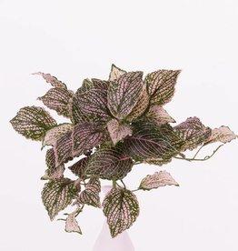 "Fittoniabush (mozaïekplant) x37bld, ""self folding"", 25cm"