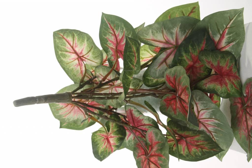 """Caladium """"Vital Greens"""" x7 x31lvs, 40cm, Ø 35cm"""