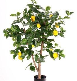 Citroenboompje (Citrus limon)