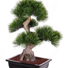 Bonsai Pinus mugo (Bergden), x4 heads, x96 bundles, in clay tray, 70cm