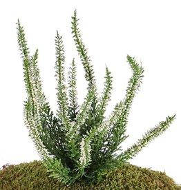 Heideplantje / Erica (Calluna) x63, 18*25cm