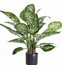 Dieffenbachia candidaplant (Aronkskelk) x26lvs, in pot, 51cm