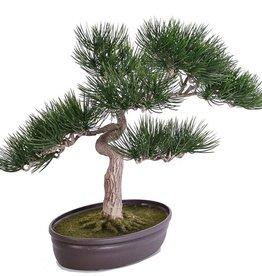 Bonsai Angel pine, hoogte: 43cm