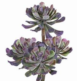 Aeonium, Dickblattgewächs mit 4 Trieben