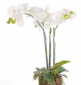 "Phalaenopsisplant ""natural touch"", 20 bloemen, 65cm"