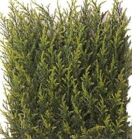 Cypress hedge, UVSAFE 25*25cm 77tips, 2tone green