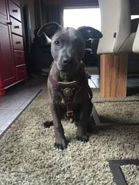 Dog Harness Royal Classic Knight
