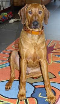 Dog Collar Savanne