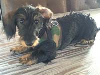 Dog harness soft vest