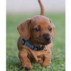 Rogz Puppy Halsband YoYo Blauw