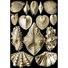 Ernst Haeckel-acephala