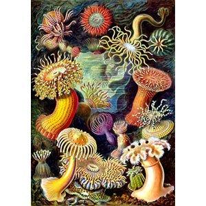 Ernst Haeckel- actiniae