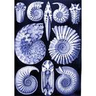 Ernst Haeckel - ammonitida